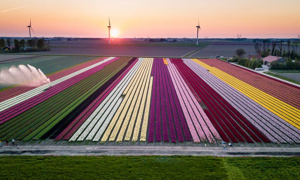 Biologische tulpen uit de Noord-oost polder